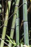 Πράσινη ομάδα 6 καλάμων μπαμπού Στοκ φωτογραφία με δικαίωμα ελεύθερης χρήσης