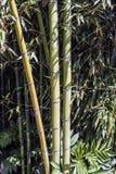 Πράσινη ομάδα 1 καλάμων μπαμπού Στοκ Εικόνα