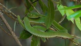 Πράσινη οχιά κοιλωμάτων Vogeli απόθεμα βίντεο