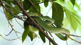 Πράσινη οχιά κοιλωμάτων Vogeli