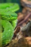 πράσινη οχιά κοιλωμάτων Στοκ Φωτογραφίες
