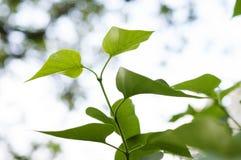Πράσινη πασχαλιά φύλλων Στοκ φωτογραφία με δικαίωμα ελεύθερης χρήσης