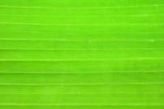 Πράσινη περίληψη ανασκόπησης φύλλων μπανανών Στοκ Φωτογραφίες