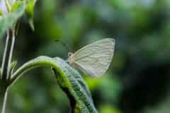 Πράσινη πεταλούδα Στοκ Φωτογραφία