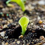 Πράσινη προέλευση νεαρών βλαστών από το σπόρο στο χώμα Στοκ Φωτογραφίες