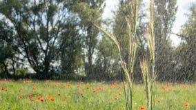 Πράσινη σίκαλη ακίδων στο υπόβαθρο του τομέα με τις ανθίζοντας παπαρούνες στο υπόβαθρο r στοκ φωτογραφίες με δικαίωμα ελεύθερης χρήσης