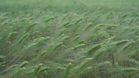 πράσινη σίκαλη πεδίων φιλμ μικρού μήκους