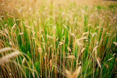 Πράσινη σίκαλη στον τομέα μια ηλιόλουστη ημέρα στοκ εικόνες