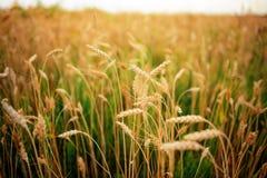 Πράσινη σίκαλη στον τομέα μια ηλιόλουστη ημέρα στοκ εικόνες με δικαίωμα ελεύθερης χρήσης