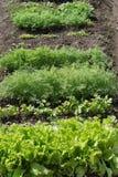 Πράσινη σαλάτα και laves του μαϊντανού, άνηθος Χαρασμένα φύλλα στοκ φωτογραφίες