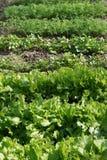 Πράσινη σαλάτα anf laves του μαϊντανού, άνηθος Χαρασμένα φύλλα στοκ εικόνα με δικαίωμα ελεύθερης χρήσης