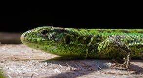 Πράσινη σαύρα στοκ φωτογραφία με δικαίωμα ελεύθερης χρήσης