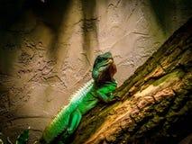 Πράσινη σαύρα Basiliscus βασιλίσκων plumifrons Στοκ φωτογραφία με δικαίωμα ελεύθερης χρήσης