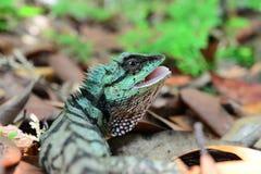 Πράσινη σαύρα - Calotes Emma - ερπετά της Ταϊλάνδης Στοκ Εικόνα