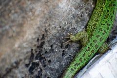 Πράσινη σαύρα Lacerta Viridis Oestliche Smaragdeidechse ευρωπαϊκή πράσινη σαύρα στοκ εικόνες