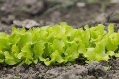 πράσινη σαλάτα Στοκ Εικόνα