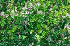 Πράσινη σερνμένος σύσταση κισσών Στοκ Εικόνα