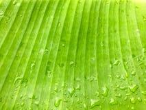 Πράσινη σκιά φύλλων μπανανών κινηματογραφήσεων σε πρώτο πλάνο με τη σταγόνα βροχής, υπόβαθρο Στοκ Εικόνες