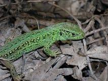 Πράσινη, σμαραγδένια σαύρα στο υπόβαθρο των ξηρών φύλλων Άνοιξη στοκ εικόνες με δικαίωμα ελεύθερης χρήσης