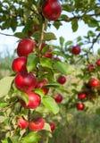 Πράσινη συγκομιδή κλάδων δέντρων της Apple στον κήπο Στοκ Εικόνες