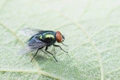 Πράσινη συνεδρίαση μυγών στο φύλλο Στοκ Φωτογραφίες