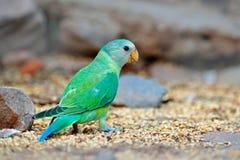 Πράσινη συνεδρίαση πουλιών στην πέτρα Να τοποθετηθεί ροδαλός-ringed Parakeet, krameri Psittacula, Ινδία, Ασία Παπαγάλος μέσα στον Στοκ Φωτογραφίες