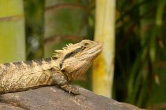 Πράσινη συνεδρίαση iguana σαυρών σε έναν βράχο Στοκ Εικόνα