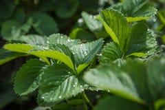 Πράσινη σύσταση με τα φύλλα φραουλών Στοκ φωτογραφία με δικαίωμα ελεύθερης χρήσης
