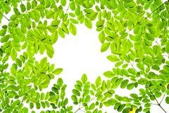 Πράσινη σύσταση σχεδίων άδειας στο άσπρο υπόβαθρο διάστημα αντιγράφων Στοκ Εικόνες