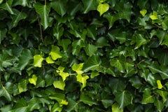 Πράσινη σύσταση ταπετσαριών υποβάθρου φύλλων Στοκ Φωτογραφία