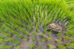 Πράσινη σύσταση τομέων ρυζιού τοπ άποψης Στοκ Εικόνες