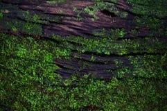 Πράσινη σύσταση υποβάθρου λειχήνων βρύου όμορφη στη φύση με ομο Στοκ Εικόνες