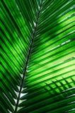 Πράσινη σύσταση φύλλων φοινικών στοκ εικόνες