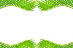 Πράσινη σύσταση φύλλων δέντρων καρύδων φοινικών στο άσπρο υπόβαθρο με το διάστημα αντιγράφων κειμένων Στοκ Φωτογραφία