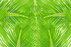Πράσινη σύσταση φύλλων δέντρων καρύδων φοινικών Στοκ εικόνες με δικαίωμα ελεύθερης χρήσης