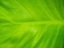 πράσινη σύσταση φύλλων ανα&sigm Στοκ Εικόνες