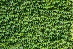πράσινη σύσταση φύλλων Υπόβαθρο Στοκ φωτογραφία με δικαίωμα ελεύθερης χρήσης