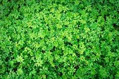 Πράσινη σύσταση φύλλων, υπόβαθρο Στοκ φωτογραφίες με δικαίωμα ελεύθερης χρήσης