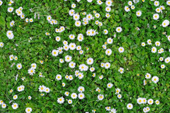 Πράσινη σύσταση χλόης άνοιξη με τα λουλούδια Στοκ Εικόνες