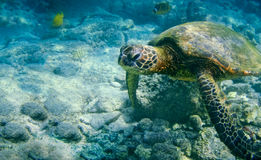 πράσινη της Χαβάης χελώνα θάλασσας στοκ εικόνες με δικαίωμα ελεύθερης χρήσης