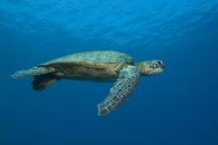 πράσινη της Χαβάης χελώνα θά&l Στοκ εικόνες με δικαίωμα ελεύθερης χρήσης