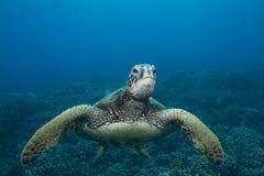 πράσινη της Χαβάης χελώνα θά&l Στοκ Εικόνα