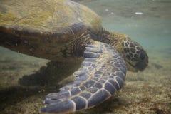 πράσινη της Χαβάης χελώνα θά&l Στοκ εικόνα με δικαίωμα ελεύθερης χρήσης