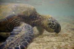 πράσινη της Χαβάης χελώνα θά&l Στοκ φωτογραφία με δικαίωμα ελεύθερης χρήσης
