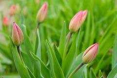 Πράσινη τουλίπα με την κόκκινη ανάπτυξη οφθαλμών Ξύπνημα φύσης, πρώτα λουλούδια, thaw, που ψάχνει την άνοιξη Στοκ Εικόνες