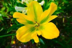 Πράσινη τουλίπα Viridiflora Στοκ φωτογραφίες με δικαίωμα ελεύθερης χρήσης