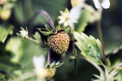 πράσινη φράουλα Στοκ Φωτογραφίες