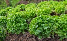 Πράσινη φρέσκια πράσινη βαλανιδιά άδειας σαλάτας στη σειρά του οργανικού αγροκτήματος Στοκ Φωτογραφία