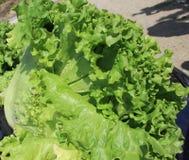 Πράσινη φρέσκια φλοιώδης φραντζόλα φύλλων σαλάτας στοκ εικόνα