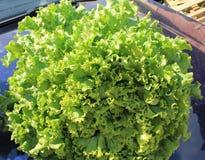Πράσινη φρέσκια φλοιώδης φραντζόλα φύλλων σαλάτας στοκ εικόνες